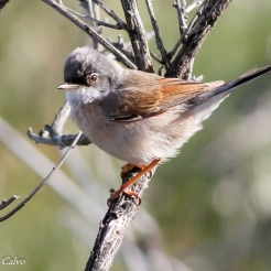 Spectacled Warbler
