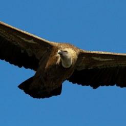 Vulture6