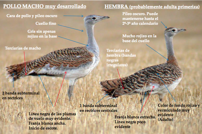 great-bustard-age