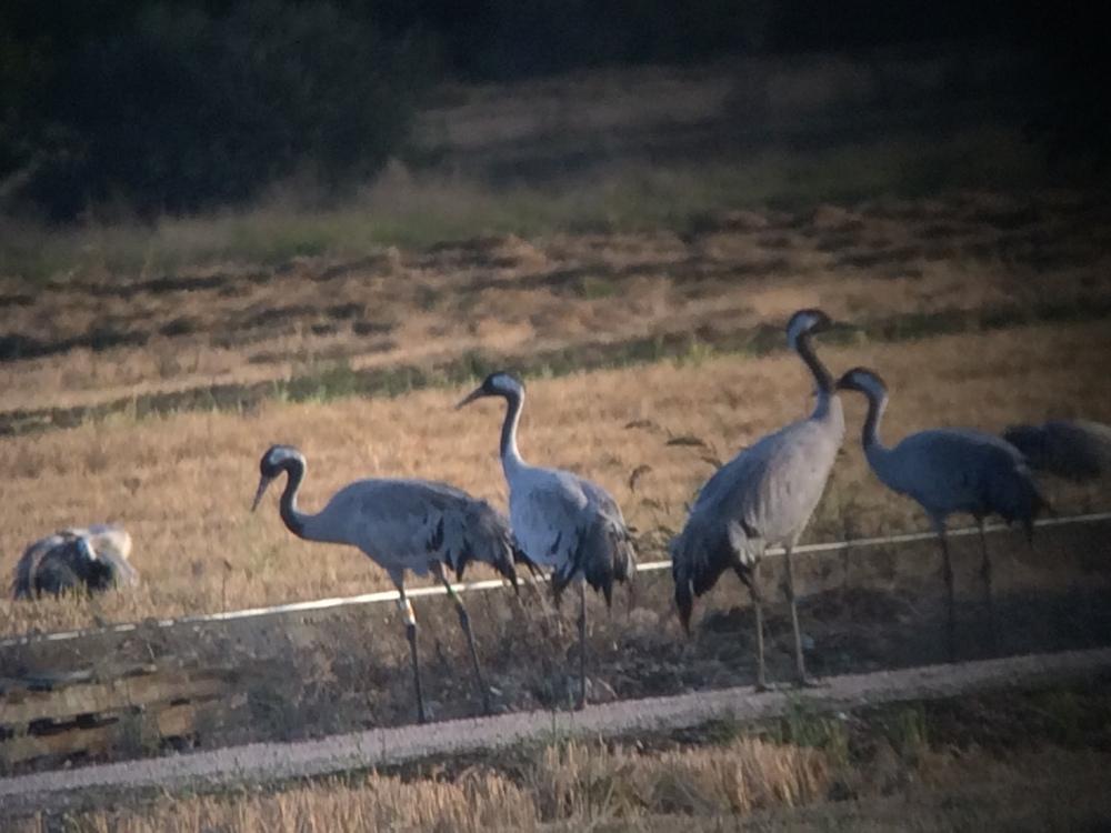 ringed-crane_campo-lugar