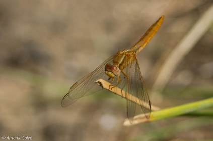 Crocothemis erythraea_female