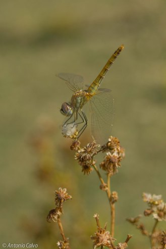 Sympetrum fonscolombii_female