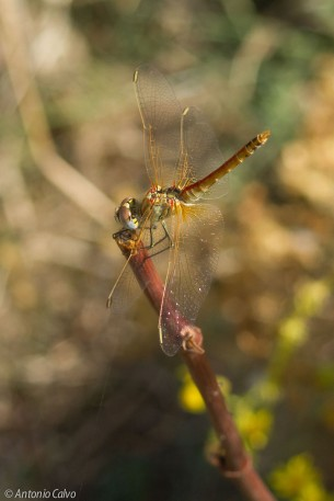 Sympetrum fonscolombii_male